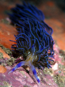 Pteraeolidia ianthina, Bare Island by Doug Anderson 